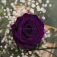 Rosa Individual Púrpura Magia